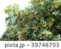 トベラ 果実 実の写真 39746703