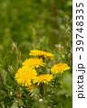 春の野原に咲くタンポポのクローズアップ 39748335