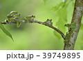 モリアオガエル(青森県) 39749895