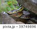 ヤマカガシ①(福島県) 39749896