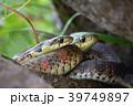 ヤマカガシ②(福島県) 39749897