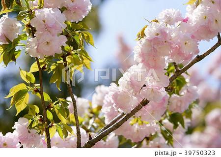 逆光に輝くフレッシュな八重桜1 39750323