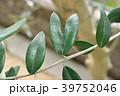 ハート形のオリーブの葉 39752046
