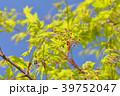 もみじの花 39752047