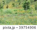 タンポポ 花 満開の写真 39754906