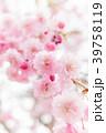 八重桜 春 花の写真 39758119
