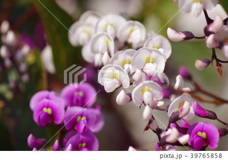 ハーデンベルギアの花 39765858