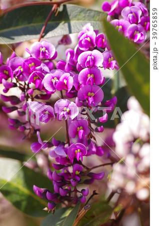 ハーデンベルギアの花 39765859