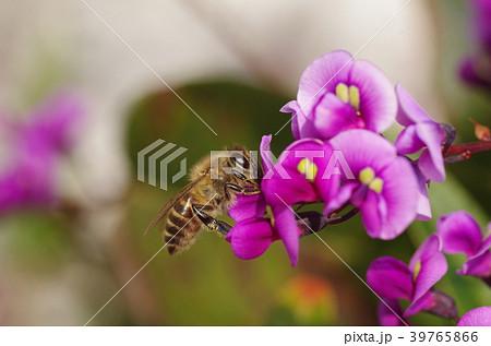 ミツバチとハーデンベルギア 39765866