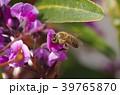 ミツバチ 蜂 ハーデンベルギアの写真 39765870