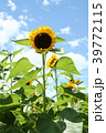 向日葵 花 夏の写真 39772115