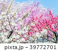 ハナモモ、桃の花、桃 39772701