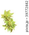 春 植物 山菜のイラスト 39772882