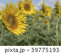 ひまわり 畑 39775193