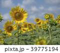 ひまわり 畑 39775194