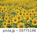 ひまわり 畑 39775196