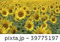 植物 夏 花の写真 39775197
