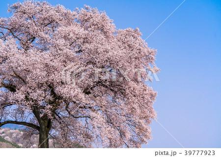 《山梨県》わに塚の桜 39777923