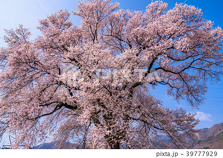 《山梨県》わに塚の桜 39777929