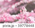 ギョリュウバイ 八重咲き 花の写真 39778448