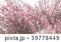 ギョリュウバイ 八重咲き 植物の写真 39778449