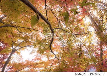 紅葉と森の風景 (兵庫県宍粟市山崎町) 39780762
