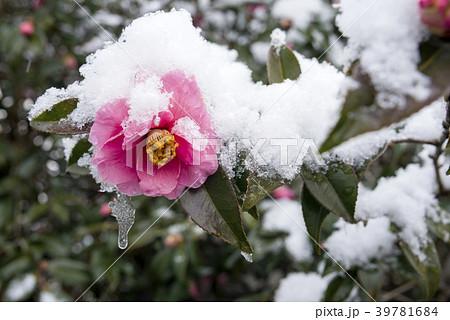 雪をかぶった椿の花 39781684