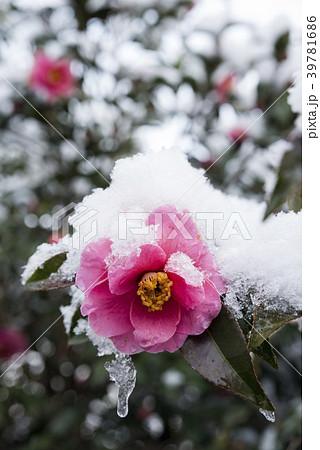 雪をかぶった椿の花 39781686