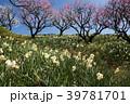 梅をバックに水仙の花 39781701