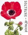 白バックの赤いボタンイチゲの花 39781705
