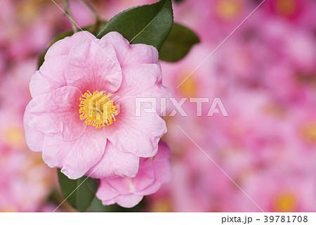 落花の上のピンクの椿の花 39781708