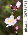 アーモンド 花 蕾の写真 39781713