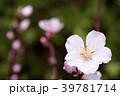アーモンド 花 咲くの写真 39781714