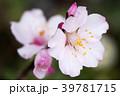アーモンド 花 蕾の写真 39781715