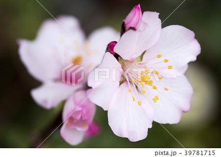 アーモンドの花のアップ 39781715