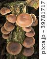 椎茸 茸 榾木の写真 39781717