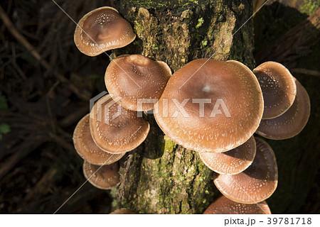 榾木から生えたシイタケ 39781718