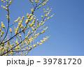 青文字 花 ショウガノキの写真 39781720