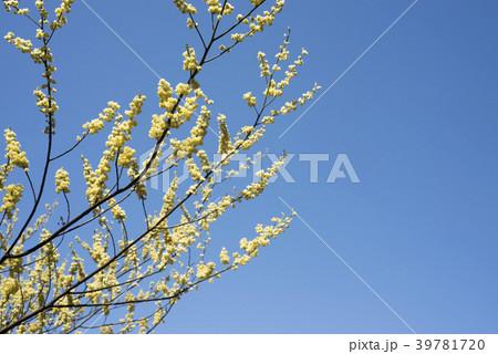 青空の下のアオモジの花 39781720