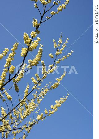 青空の下のアオモジの花 39781721