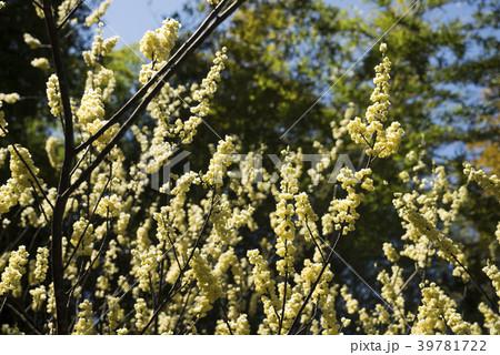 森をバックにアオモジの花 39781722