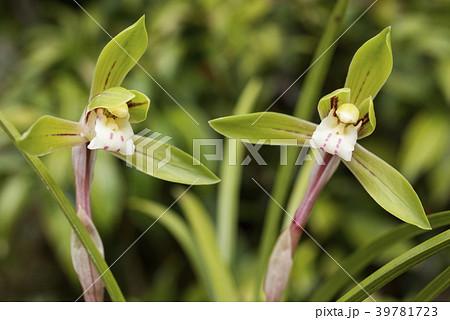 緑をバックに春蘭の花 39781723