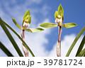 春蘭 蘭 花の写真 39781724
