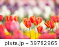 チューリップ畑 チューリップ 花畑の写真 39782965