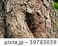 ヨコヅナサシガメ 昆虫 羽化の写真 39783039