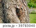 ヨコヅナサシガメ 昆虫 羽化の写真 39783040