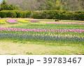 春 花 チューリップの写真 39783467