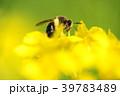 花 春 菜の花の写真 39783489
