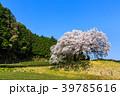 納戸料の百年桜 【佐賀県嬉野市】 39785616