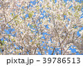 桜 葉桜 花の写真 39786513